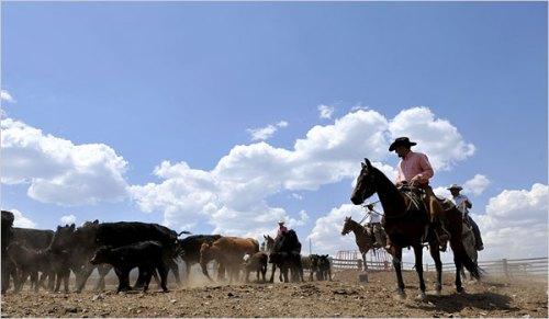 Livestock xEricDraper NYTimes