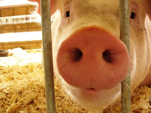 Big Ag to police its animal treatment in Ohio