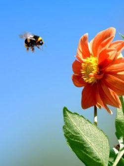bee orange flower cmprsd