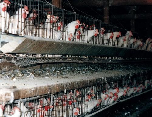 ChickensInBatteryCageslg (500 x 387)