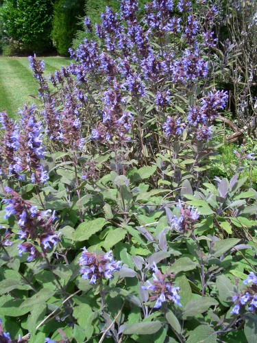 Medicinal properties of sage revealed | Food Freedom