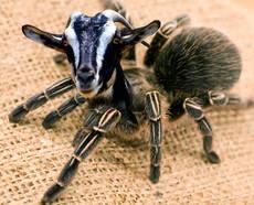 spider-goat.jpg